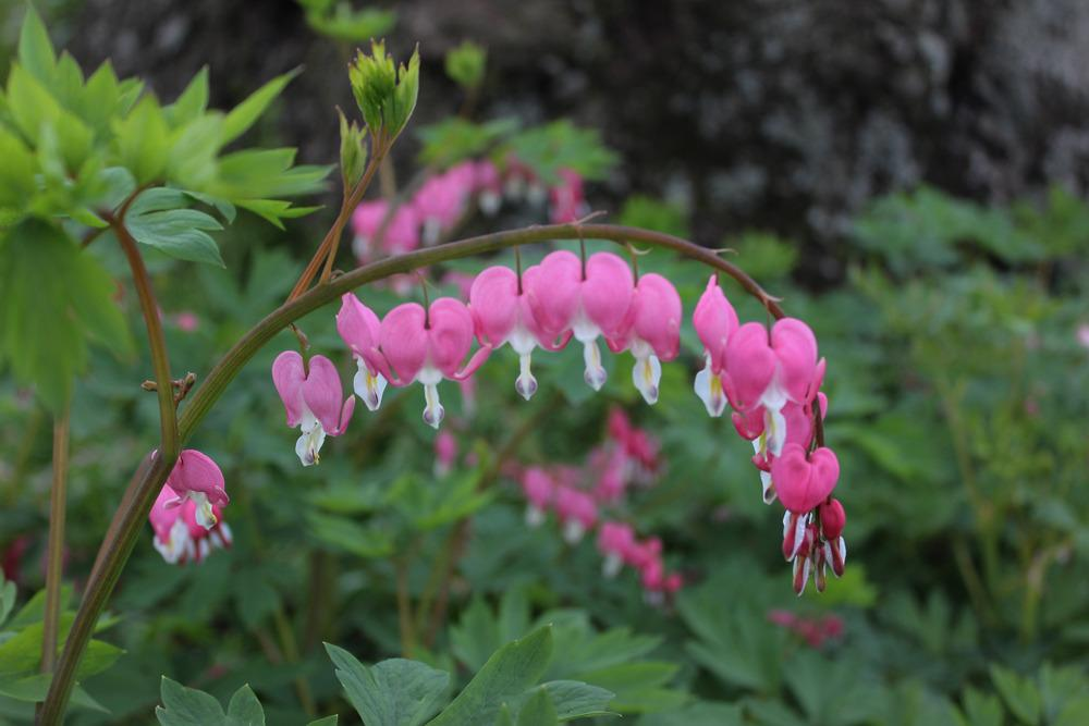 Bleeding Hearts Plant Care and Collection of Varieties Gardenorg