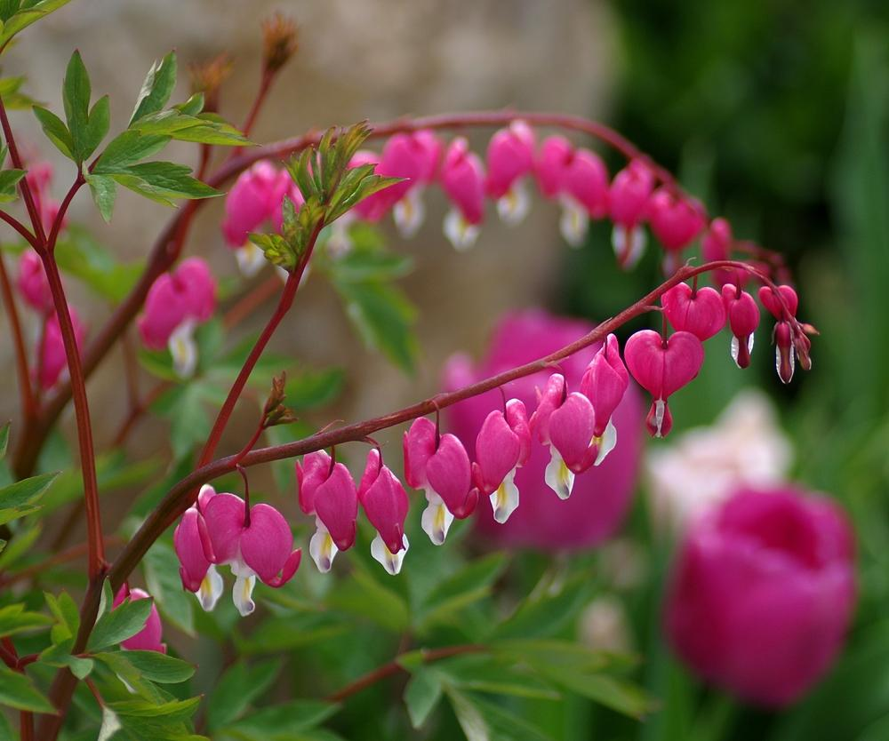 Bleeding Hearts Plant Care And Collection Of Varieties Garden