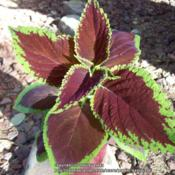 Location: Tucson, ArizonaDate: January 2016Rooted Coleus cutting
