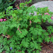 Location: My GardensDate: April 28, 2011Whole Plant In Shade
