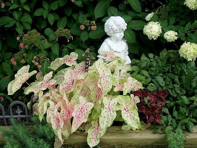 Dwarf Caladium Caladium Miss Muffet In The Caladiums Database