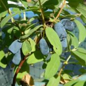 Location: The Honeyberry Farm, Bagley, MNDate: 2012-06-09Tundra honeyberries on 3 year old potted plant.