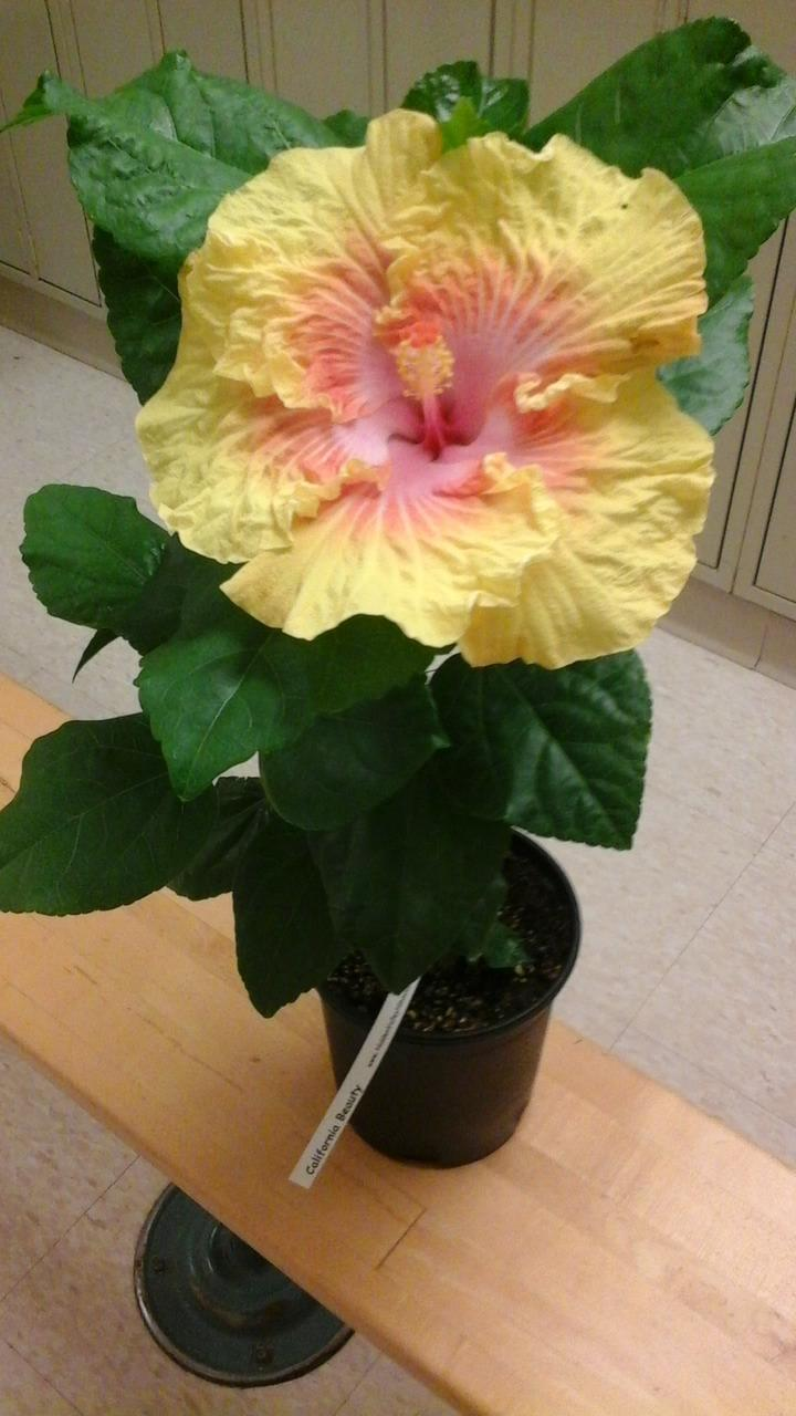 Ask A Question Forum My Hibiscus Flowers Changed Color Garden
