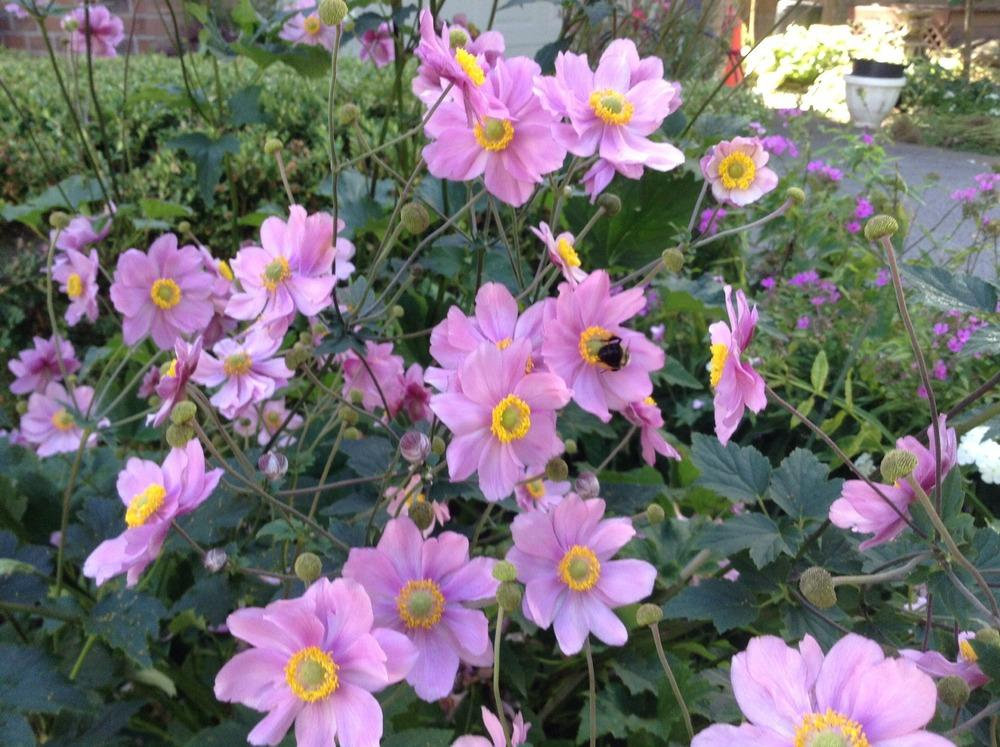 Photo of Japanese Anemone (Eriocapitella hupehensis 'Serenade') uploaded by acer5050