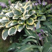 Location: My garden in Aurora, Ontario zone 5bTop left taking up most of the picture is Hosta 'Forest Fire' wit