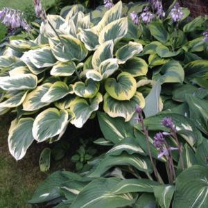 Top left taking up most of the picture is Hosta 'Forest Fire' wit