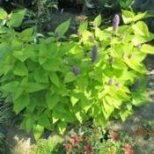 Location: My Garden, Anchorage, AlaskaDate: 2015-08-07Grown from seed indoors spring 2015
