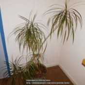 Location: Indoors - San Joaquing County, CADate: 2016-01-31 - WinterMy Dracaena marginata growing indoors year round