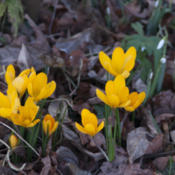 Location: Oxfordshire, EnglandDate: 2016-02-04Woodland crocuses
