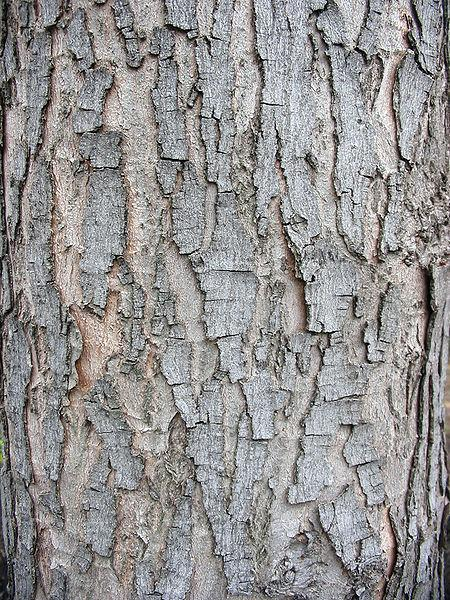 Photo Of The Stem Scape Stalk Or Bark Of Silver Maple Acer