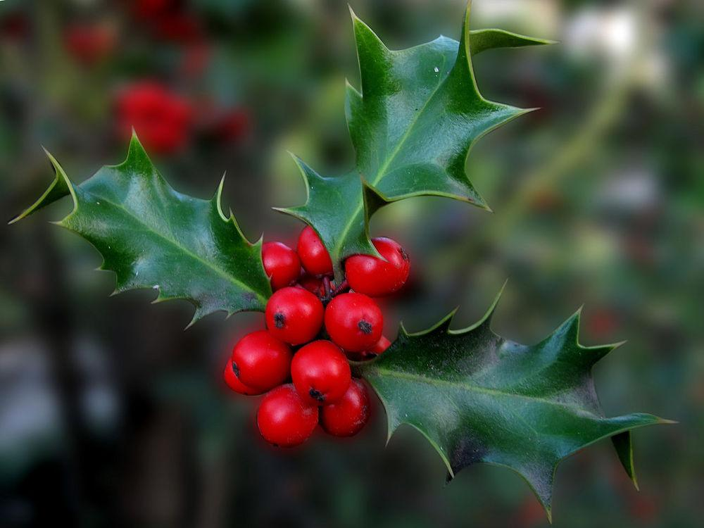 Photo of English Holly (Ilex aquifolium) uploaded by robertduval14