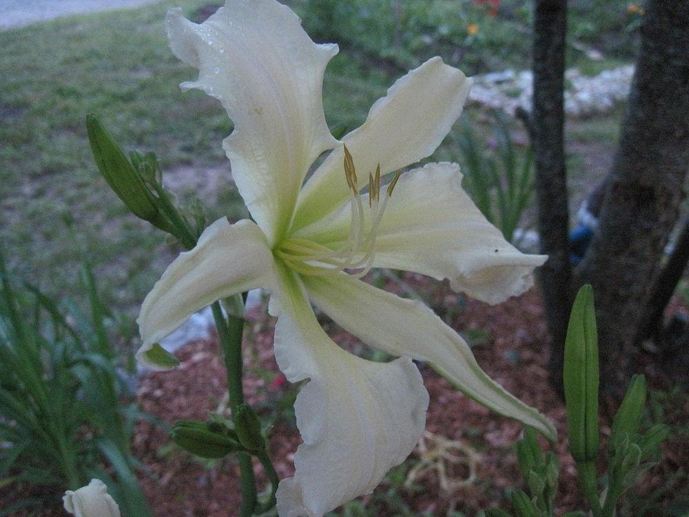 Photo of Daylily (Hemerocallis 'Heavenly Angel Ice') uploaded by robertduval14