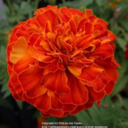 Photo of Afro-French Marigold (Tagetes 'Zenith Red')