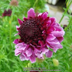 Photo of Scabiosa 'Barroca'