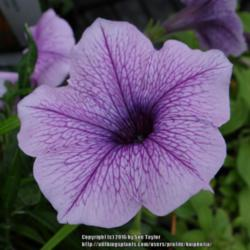 Photo of Multiflora Spreading/Trailing Petunia (Petunia Easy Wave® Plum Vein)