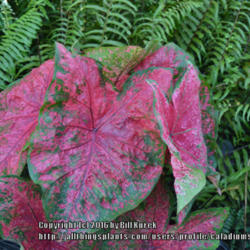 Thumb of 2016-02-08/caladiums4less/54d1ae