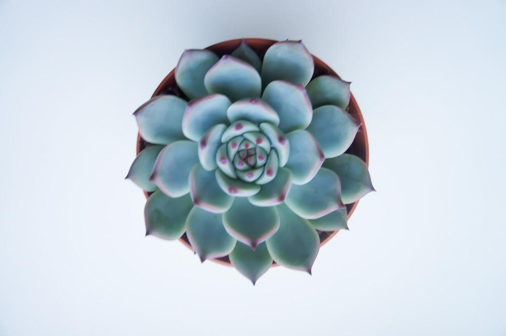 Photo of Conchita Colorada (Echeveria colorata) uploaded by Insagi