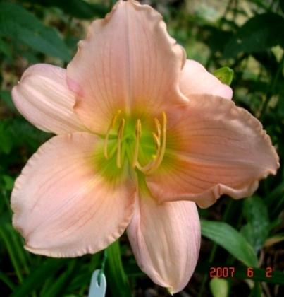 Photo of Daylily (Hemerocallis 'Liberal Bloomer') uploaded by Sscape