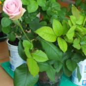 Location: SwitzerlandDate: 2015-04-03Cutting of florist rose rooted under lights from Dec 2014 to Mar