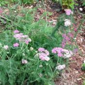 Location: front garden, Maryland USADate: 2015-07-19second-year plant from winter sowing