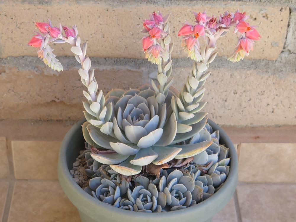 Echeverias Plant Care And Collection Of Varieties Garden Org