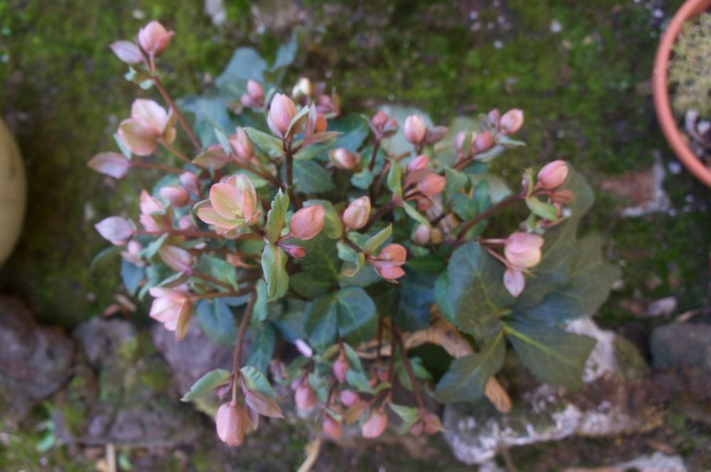 Photo of Hellebore (Helleborus Gold Collection® Pink Frost) uploaded by Insagi