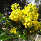 Date: 2014-03-30Tall Oregon Grape (Berberis aquifolium) a.k.a. (Mahonia aquifoliu