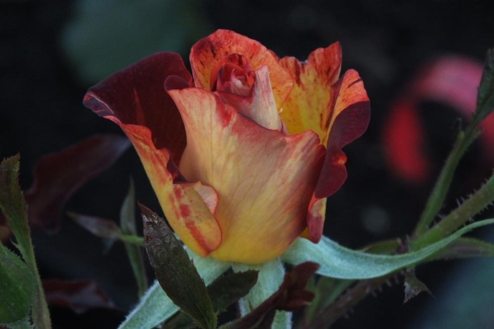 Photo of Rose (Rosa 'Summer Lodge') uploaded by sunnyvalley