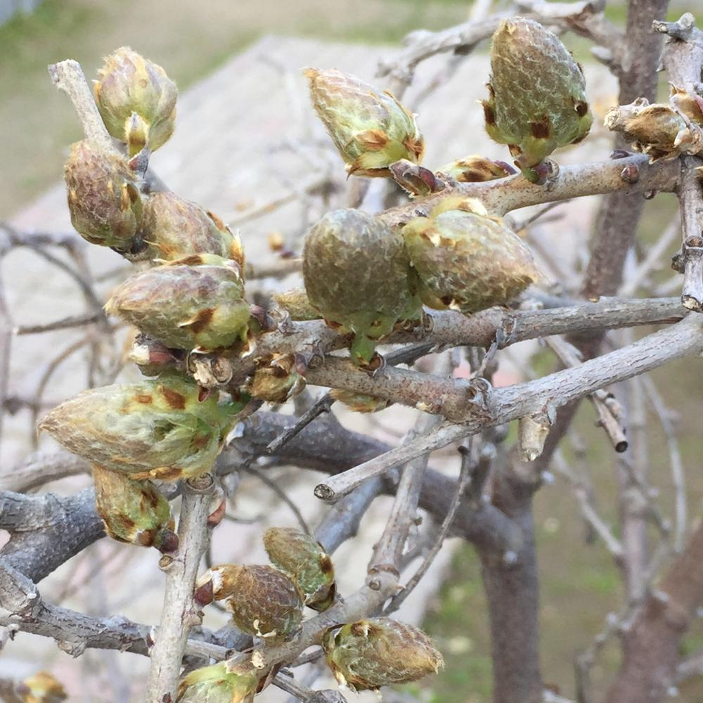 Photo Of The Closeup Of Buds Sepals And Receptacles Of Chinese