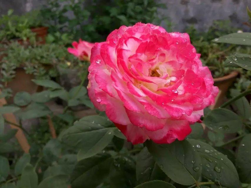 Photo of Rose (Rosa 'Double Delight') uploaded by farmwind