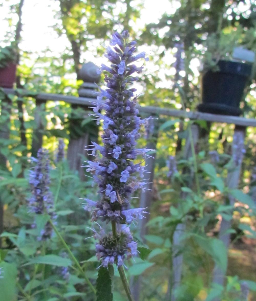 Photo of Giant Hyssop (Agastache rugosa 'Honey Bee Blue') uploaded by greenthumb99