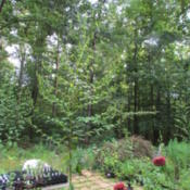 Location: Lucketts, Loudoun County, VirginiaDate: 2015-08-07Plant approximately 10 feet tall, giant indeed