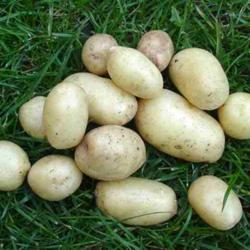 Potatoes and Sweet Potatoes growing guide