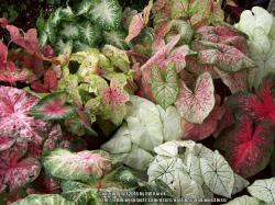 Thumb of 2016-02-21/caladiums4less/7d9fcd