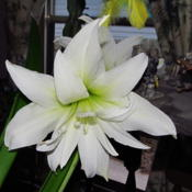 Location: central IllinoisDate: 4-21-15An all white double Amaryllis