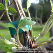 Date: 2016-02-24Clematis montana 'Mayleen' new spring growth: leaves an