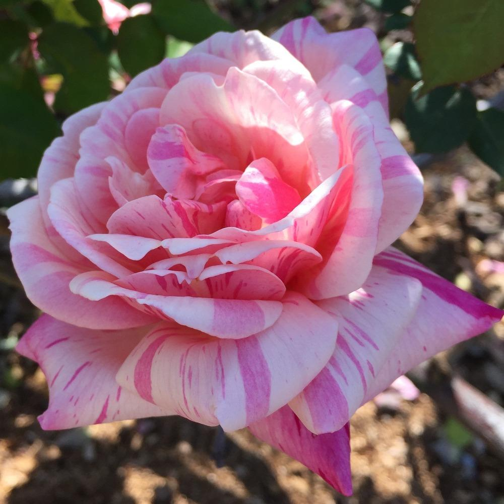 Photo of Roses (Rosa) uploaded by HamiltonSquare