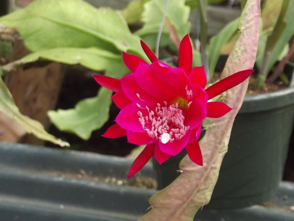 how to get epiphyllums to bloom