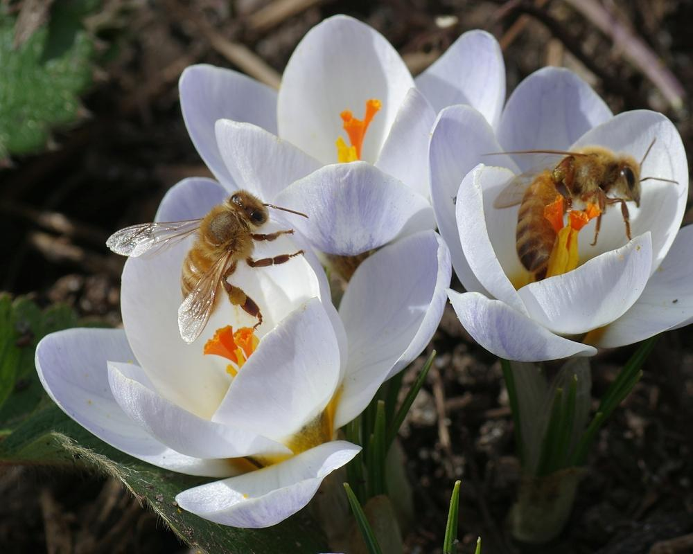 Photo of Crocus (Crocus chrysanthus 'Blue Pearl') uploaded by dirtdorphins