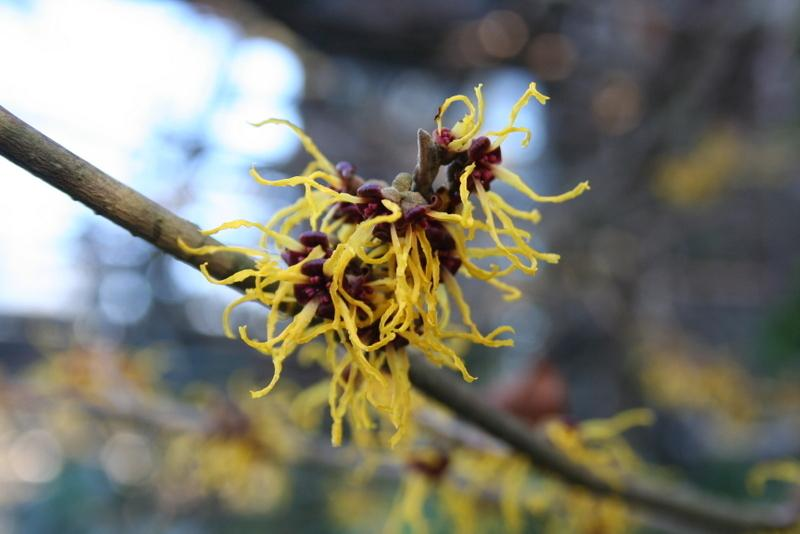 Japanese Witch Hazel Hamamelis Japonica Arborea In The Witch