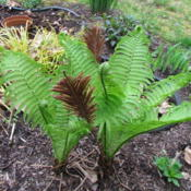 Location: Lucketts, Loudoun County, VirginiaDate: 2013-04-19Emerging spring growth, overwintered fertile fronds