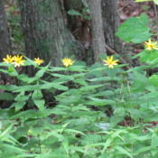 Location: Lucketts, Loudoun County, VirginiaDate: 2014-07-15View of colony in woods