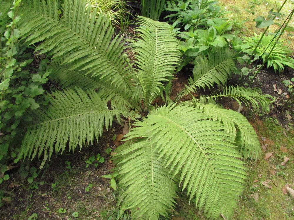Photo of Ostrich Fern (Matteuccia struthiopteris) uploaded by greenthumb99