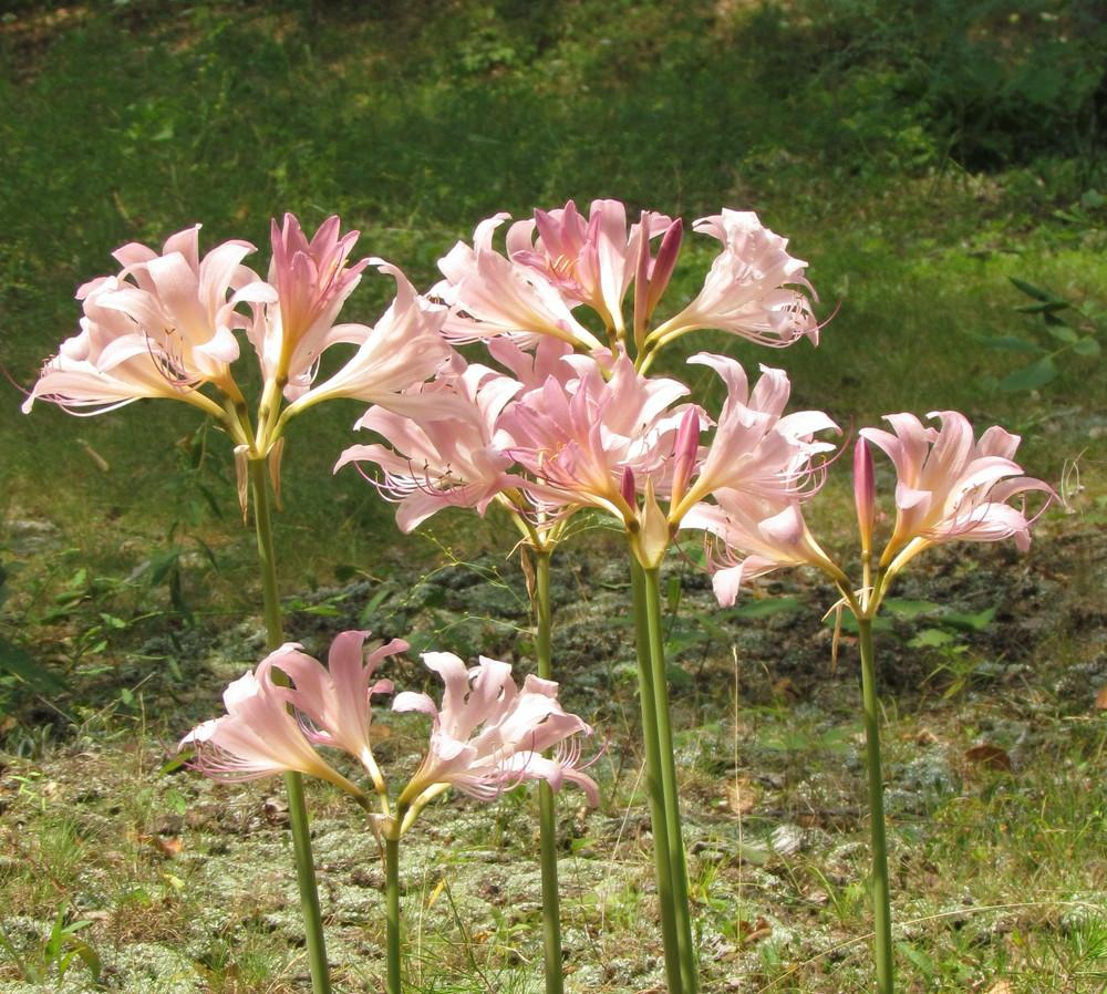 Photo of Surprise Lily (Lycoris squamigera) uploaded by greenthumb99