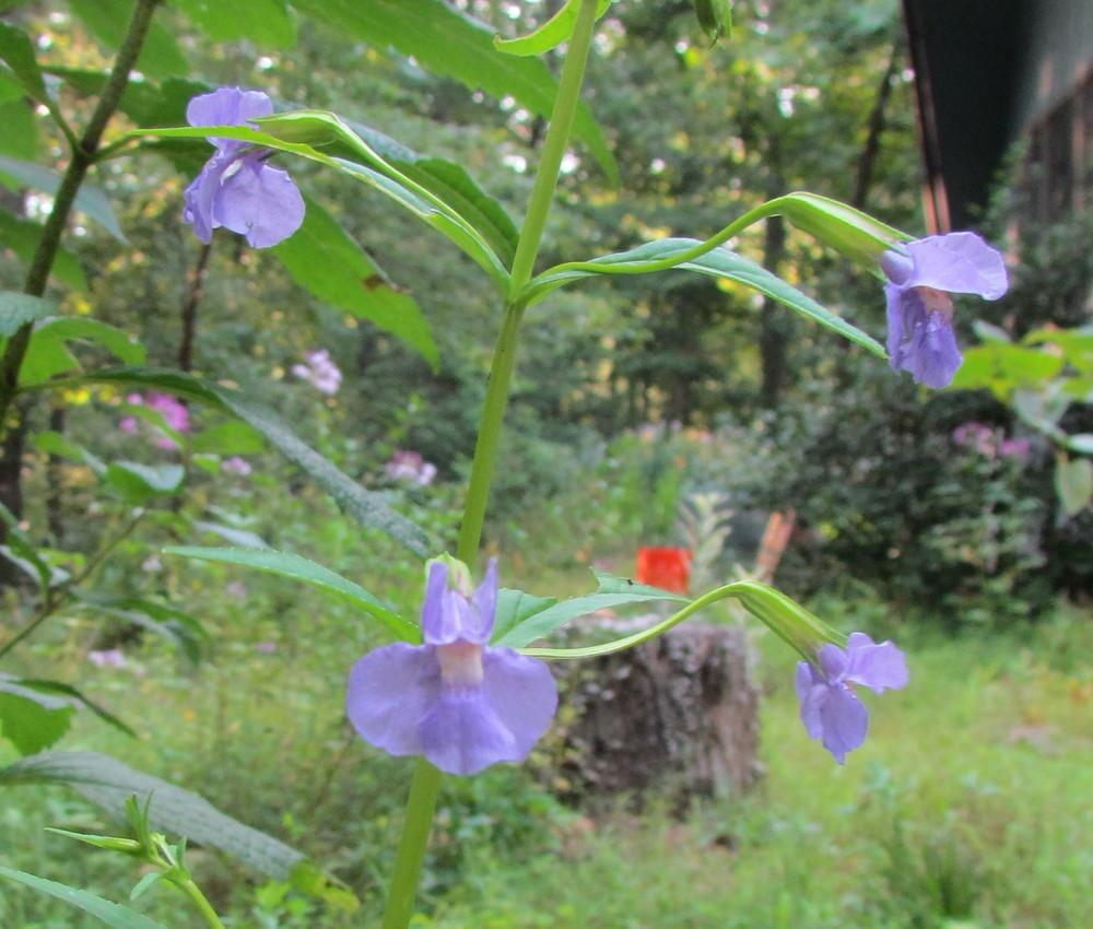 Photo of Allegheny Monkey Flower (Mimulus ringens) uploaded by greenthumb99