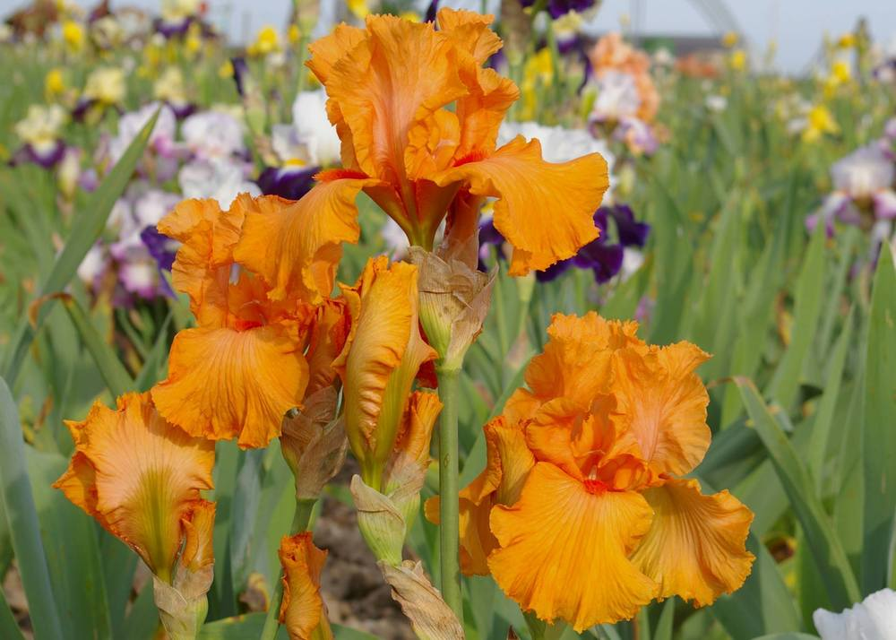 Photo of the bloom of tall bearded iris iris 39 coup de soleil 39 poste - Coup de soleil mobilier ...