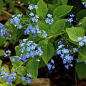 Location: Zone 5Date: 2013-05-02 a/k/a Forget-Me-Not