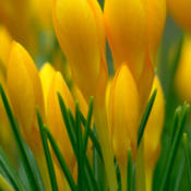 Location: My garden, Skåne, SwedenDate: March 2016