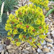 Location: Paris, FranceDate: 16/03/16Euphorbia myrsinites 'Washfield'