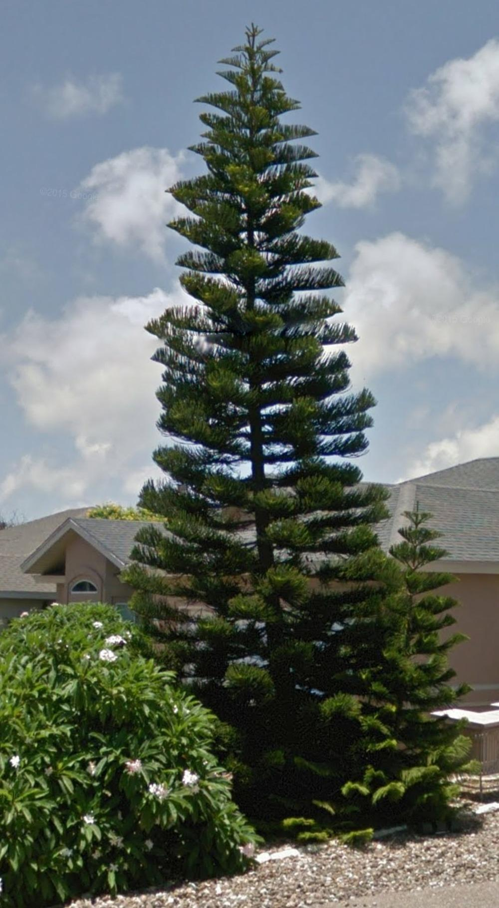 Photo of Norfolk Island Pine (Araucaria heterophylla) uploaded by JamesAcclaims